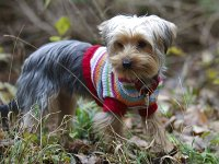 Lilly - The Yorkshire Terrier